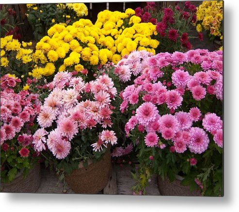 Mums Metal Print featuring the photograph New Hampshire Mix by Tracy Dugas
