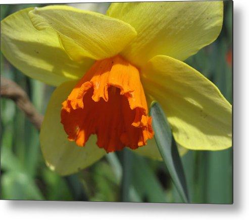 Daffodil Metal Print featuring the photograph Nodding Daffodil by Lea Novak