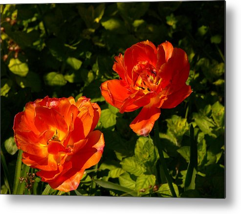 'orange Tulips' Metal Print featuring the photograph Orange Tulips In My Garden by Helmut Rottler