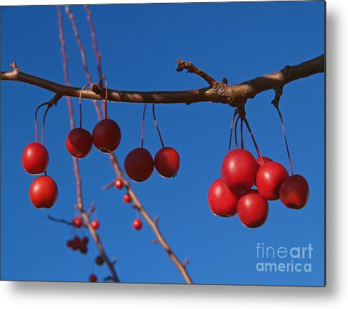 Autumn Metal Print featuring the photograph Ornamental Crabapple Branch by Anna Lisa Yoder