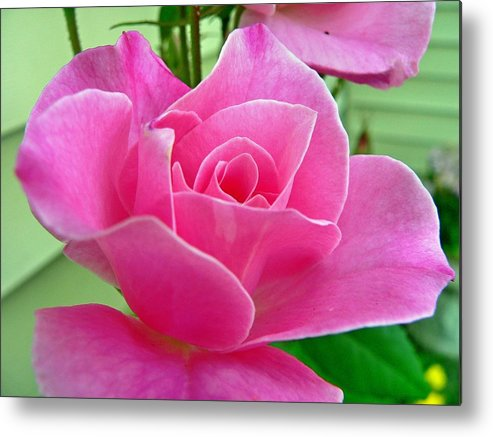 Flower Metal Print featuring the photograph p1050202b Pink Rose by Ed Immar