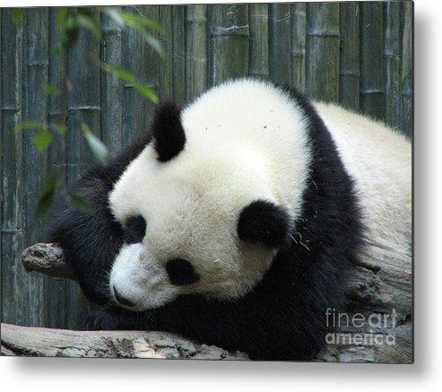 Panda Metal Print featuring the photograph Panda Bear Sleeping On A Fallen Tree Branch by DejaVu Designs
