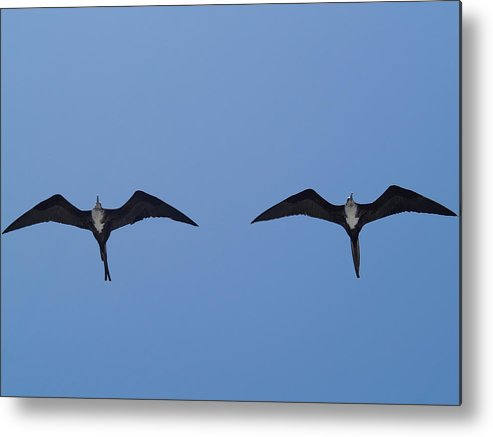 Bird Metal Print featuring the photograph Partners In Flight by Richard Mansfield