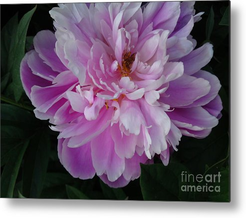 Flower Metal Print featuring the photograph Peony 5 by DebiJeen Pencils