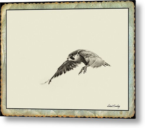 Falcon Metal Print featuring the photograph Peregrine Falcon 3 by Richard Cronberg
