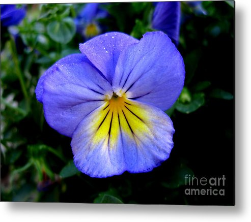 Pansy Metal Print featuring the photograph Perfect Pansy by PJ Cloud