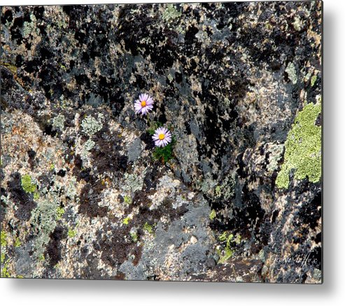 Flowers Lichen Rocks Colorado Mountains Colorful Simple Zen Metal Print featuring the photograph Persistence by George Tuffy