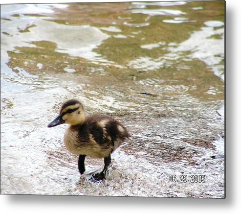 Baby Duck Metal Print featuring the photograph Photography by Katina Cote