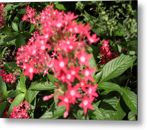 Pink Metal Print featuring the photograph Pink Butterfly Penta Flowers by Warren Thompson