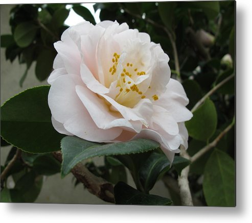 Pink Rose Metal Print featuring the photograph Pink Rose 2 by Cindy Kellogg