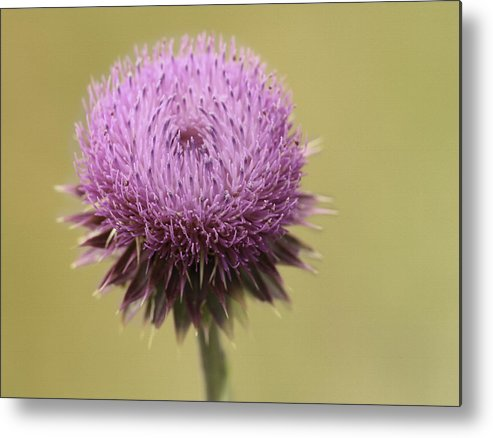 Thistle Metal Print featuring the photograph Pink Thistle by Lorraine Baum