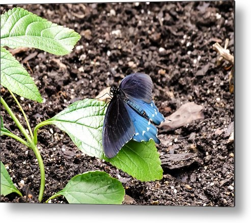 Pipevine Swallowtail Butterfly Metal Print featuring the photograph Pipevine Swallowtail Butterfly by Cynthia Woods