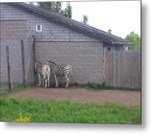 Zebra Metal Print featuring the photograph Plains Zebras In The Corner by Melissa Parks
