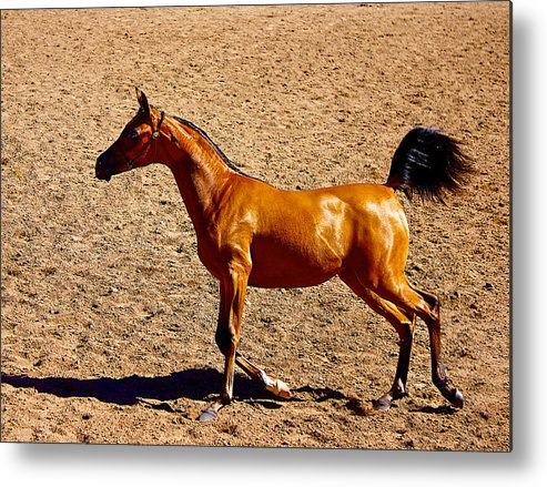 Horse Metal Print featuring the photograph Playful Canter by Barbara Zahno