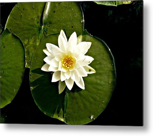 White Metal Print featuring the photograph Pond Lily by 'REA' Gallery