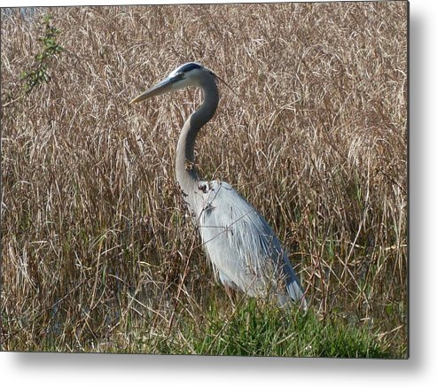 Great Blue Heron Florida Bird Landscape Metal Print featuring the photograph Posing Heron by Warren Thompson