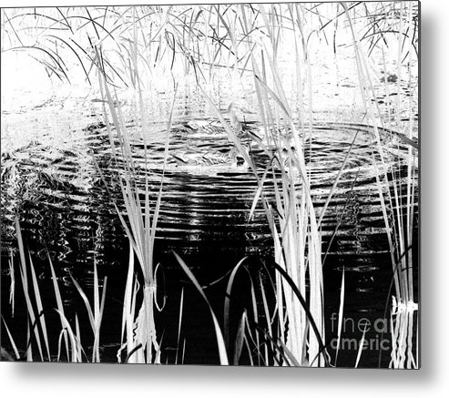 Black Ducks Metal Print featuring the digital art Private Duck Swimming Hole 1 In Black And White by Elizabeth Ann Roy