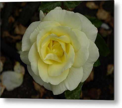 Rose Metal Print featuring the photograph Purity by Laura Allenby