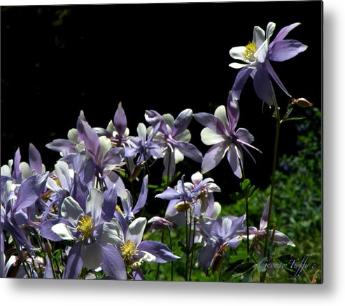Flowers Wildflowers Columbine Colorado Rocky Mountains Colorado Beauty Simple Metal Print featuring the photograph Purple Beauties by George Tuffy