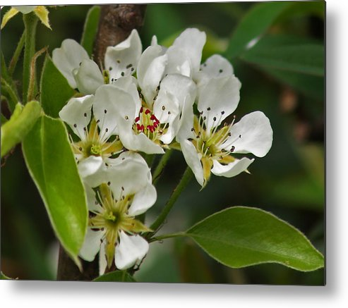 Blossom Metal Print featuring the photograph Pyrus Communis Conference by Steve Watson