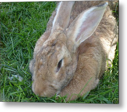 Rabbit Metal Print featuring the photograph Rabbit Head On by Melissa Parks