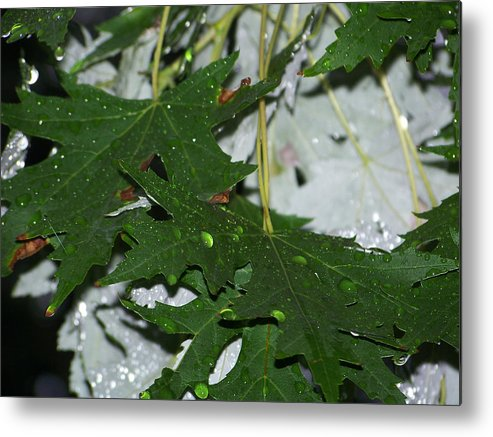 Tree Photography Metal Print featuring the photograph Raindrops by Evelyn Patrick