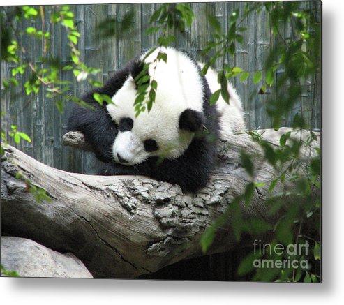 Panda Metal Print featuring the photograph Really Cute Panda Bear Sleeping On A Log by DejaVu Designs