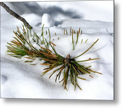 Pine Tree Metal Print featuring the photograph Recent Blanket by PJ Cloud