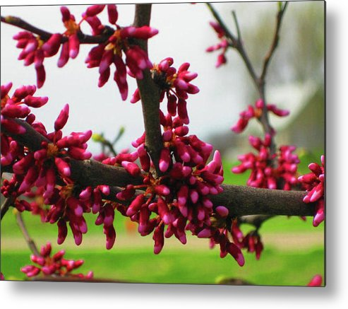 Metal Print featuring the photograph Red Buds by Brandi Nierman
