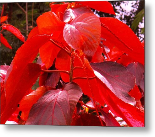 Red Metal Print featuring the photograph Red by Ian MacDonald