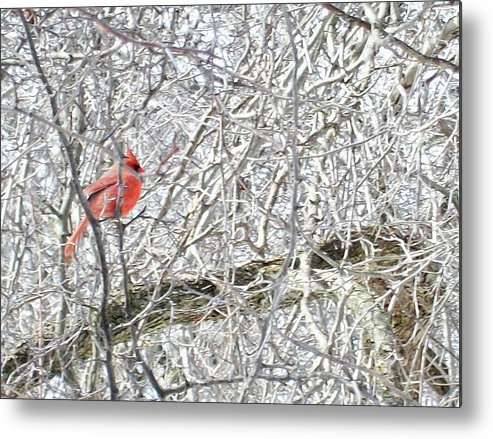 Bird Metal Print featuring the photograph Red In White by Justin Randy