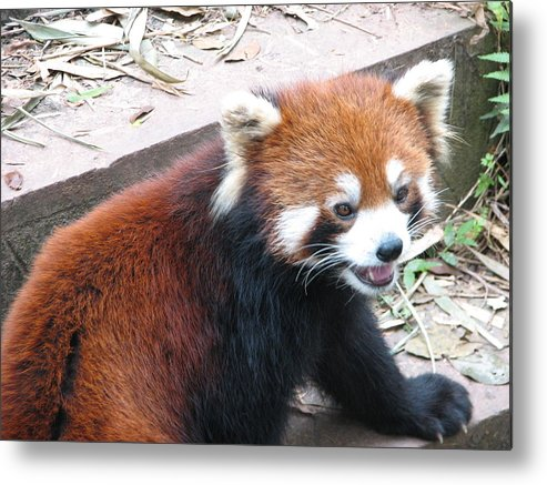Bear Metal Print featuring the photograph Red Panda by Carla Parris