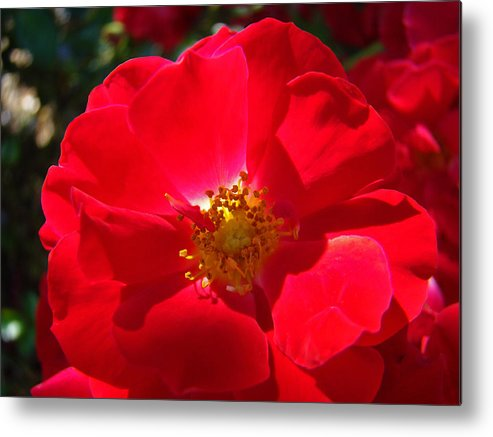 Rose Metal Print featuring the photograph Red Rose Art Print Sunlit Roses Botanical Giclee Baslee Troutman by Baslee Troutman