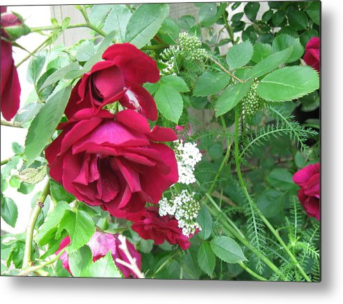 Nature Flower Metal Print featuring the photograph Red Rose by Rose Dellinger