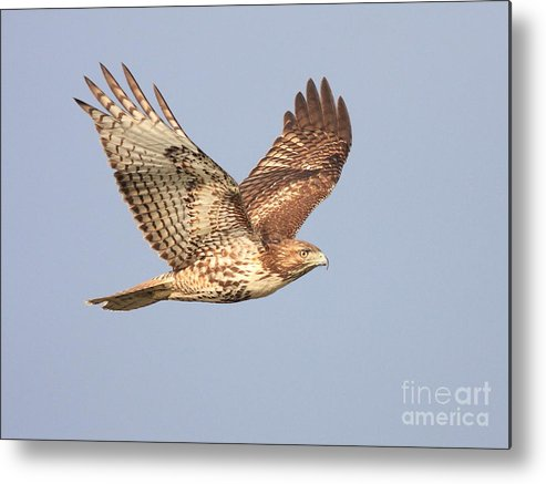 Red Tail Hawk Metal Print featuring the photograph Red Tailed Hawk 20100101-1 by Wingsdomain Art and Photography