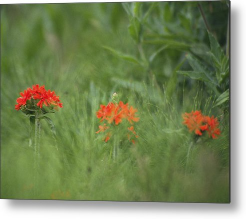 Flower Metal Print featuring the photograph Red Trio by Nik Sheppard