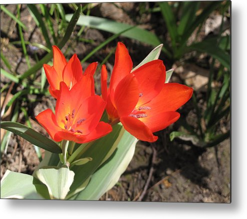 Tulips Metal Print featuring the photograph Red Tulips by Lea Novak
