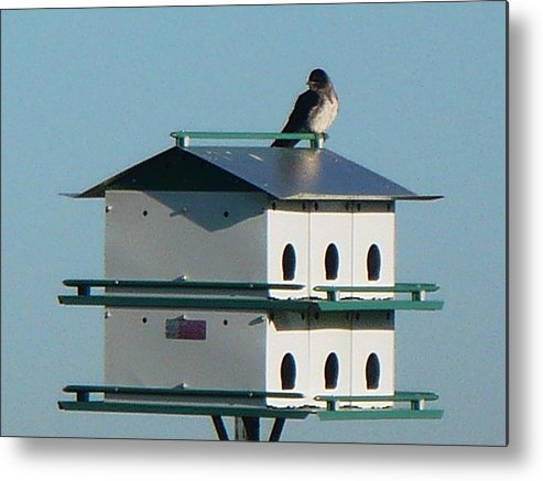 Bird Metal Print featuring the photograph Return Of The Purple Martin by Jerry Browning