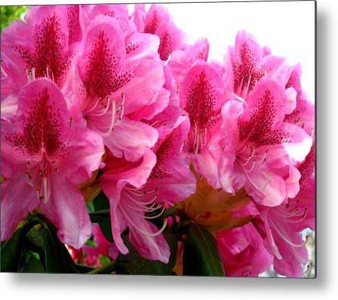 Rhododendron Metal Print featuring the photograph Rhododendron I by Aliza Souleyeva-Alexander