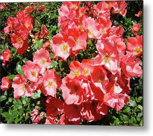 Rose Metal Print featuring the photograph Rose Garden Pink Roses Botanical Landscape Baslee Troutman by Baslee Troutman