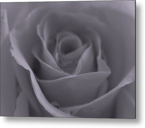 Rose Metal Print featuring the photograph Rose In Black And White by Juergen Roth
