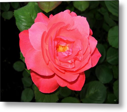 Rose Metal Print featuring the photograph Roses 12 by Will Borden