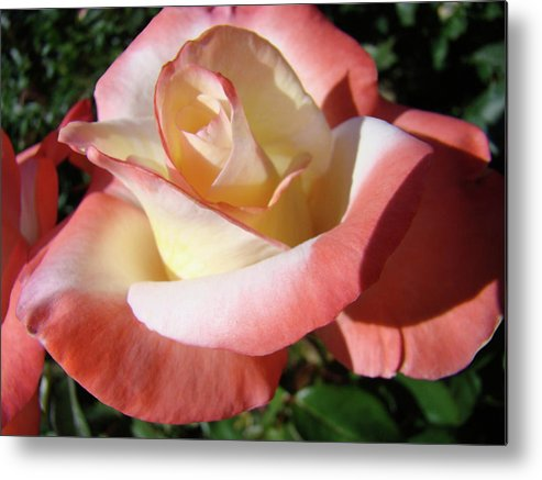 Rose Metal Print featuring the photograph Roses Pink Creamy White Rose Garden 5 Fine Art Prints Baslee Troutman by Baslee Troutman