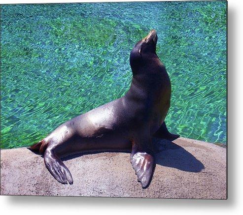 Metal Print featuring the photograph Seal At The Kansas City Zoo by Steve Karol