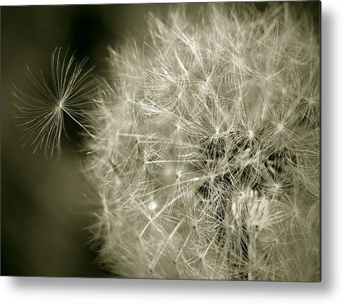 Nature Metal Print featuring the photograph Seedy Dandelion by Mary Lane