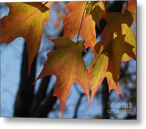 Leaf Metal Print featuring the photograph Shadowy Sugar Maple Leaves In Autumn by Anna Lisa Yoder