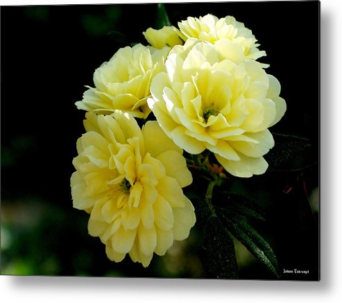 Nature Metal Print featuring the photograph Small Yellow Roses by Johann Todesengel