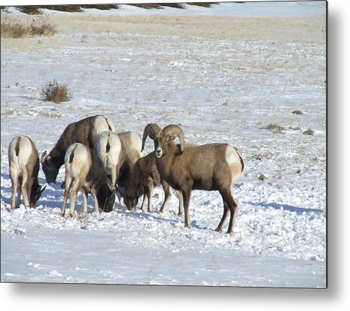Wildlife Metal Print featuring the photograph Snow On The Hills by Dennis Wilkins