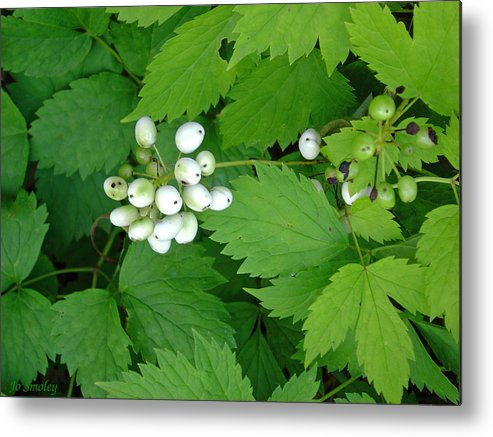 Snow White Bush Of Berries Metal Print featuring the photograph Snow White Berries by Joanne Smoley