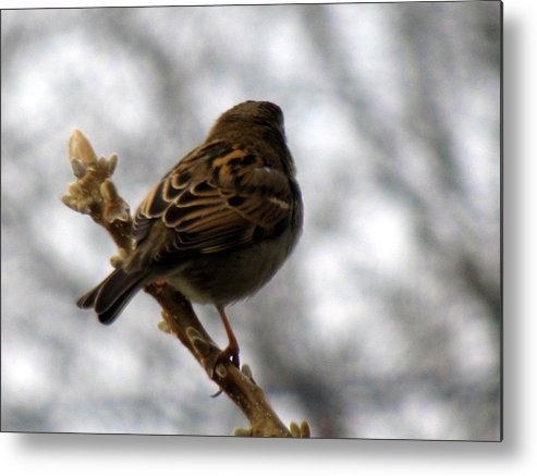 Sparrow Metal Print featuring the photograph Sparrow In Springtime by Lisa Jayne Konopka